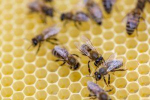 Les piqures d'abeilles peuvent être dangereuses