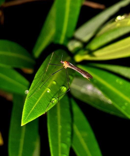 Moustique sur une plante